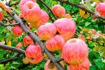 Яблочный спас яблоки – фото и описание сорта, отзывы
